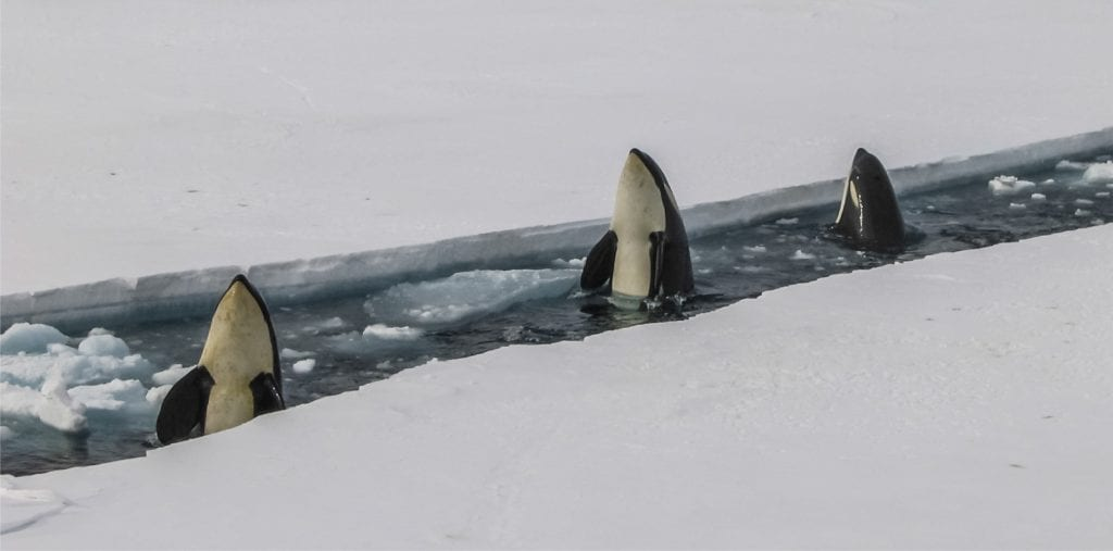 Collaborate like the orcas … don't be a herring